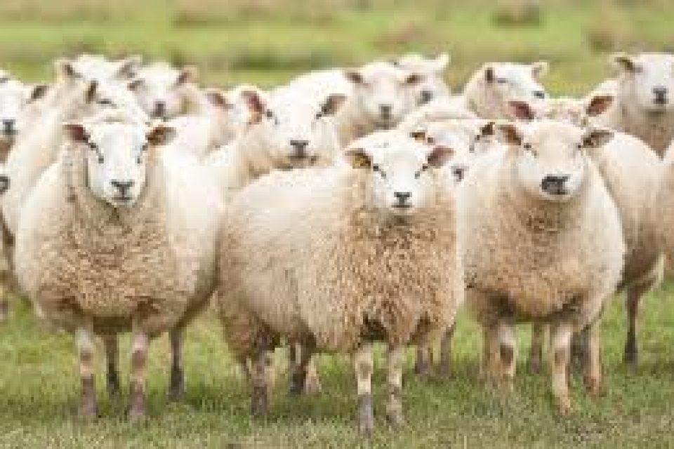 Овцевъди и козевъди се обединяват в една асоциация