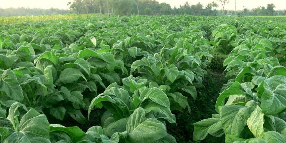Тютюнопроизводители не са получили обещаните средства от преходните национални плащания