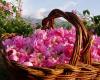 Розопроизводителите получиха близо 2 млн. лева подпомагане по de minimis